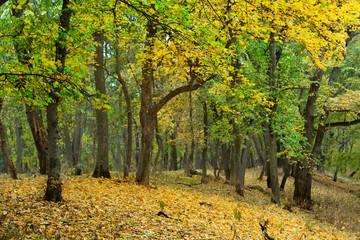 quiet golden autumn forest