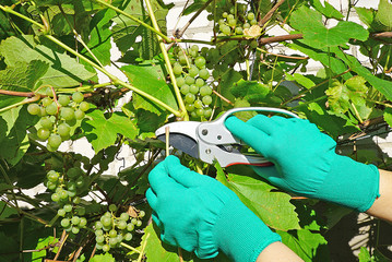 Fototapeta Pruning of grapes. Stator and hands in gloves against the background of the vine. Big. obraz