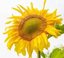 Sunflower on a field against  sky