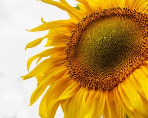 Sunflower on a field against  sky.