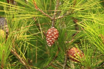 Fresh pine cones and green pine needles on pine tree