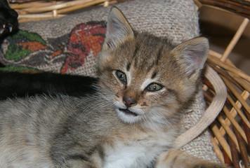 Primo piano di un adorabile gattino tigrato europeo