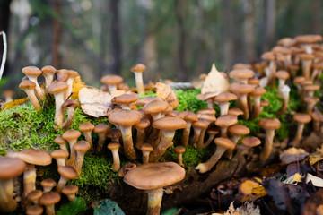 Honey fungus Mushrooms at tree stub in autumn forest. Armillaria mellea.