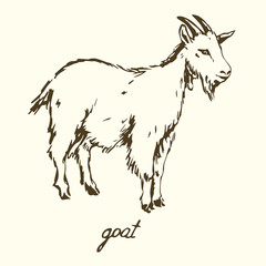 Goat, Hand drawn vector illustration