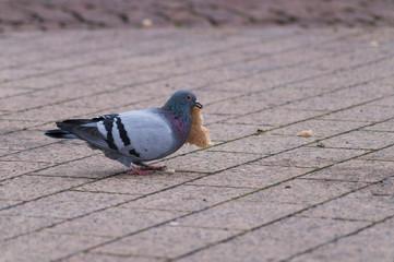 Tauben versucht sich einem großen Stück Toastbrot 2