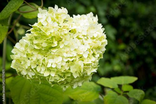 u0026quot;White flowers of Hydrangea Paniculata Limelightu0026quot; photo libre de droits sur la banque du0026#39;images ...