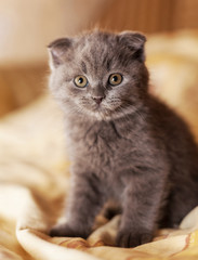 Scottish gray kitten.