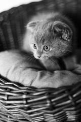 Scottish gray kitten in a basket.
