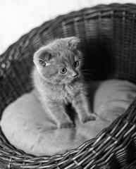 Scottish gray kitten in a basket