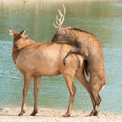 Mating Deer