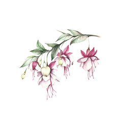 Image fuchsia flowers. Hand draw watercolor illustration