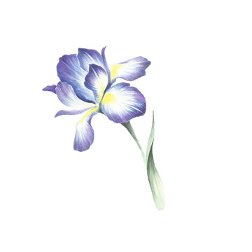 The image of the iris. Watercolor illustration