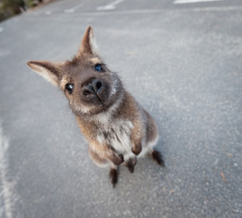Red necked wallaby standing in a funny pose looking into the camera. Tasmania, Australia