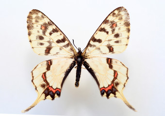 Dragon swallowtail(Sericinus montela) specimen isolated