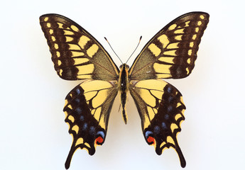 Old World Swallowtail (Papilio machaon) specimen isolated