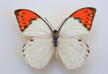Great Orange Tip (Hebomoia glaucippe) specimen isolated