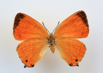 The Orange Hairstreak (Japonica lutea)specimen isolated