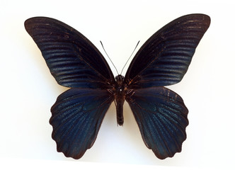 Great Mormon (Papilio memnon) specimen isolated