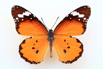 African monarch or plain tiger (Anosia chrysippus) specimen isolated
