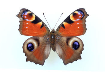 Peacock butterfly (Inachis io) specimen isolated