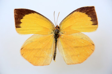Spotless grass yellow(Eurema laeta) specimen isolated