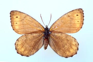 Melissa Arctic (Oeneis melissa) specimen isolated