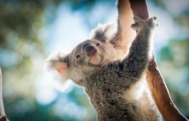 Aluminium Prints Koala Climbing Koala