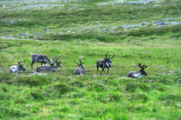Reindeers near Nordkapp Cape, Norway