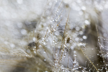 Dandelion seeds with water drops on natural background