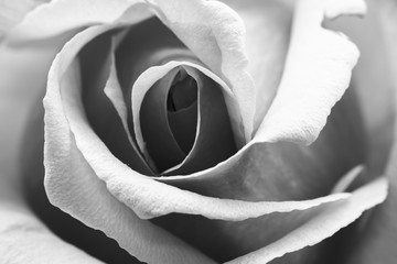 Black and white, beautiful, delicate rose petals