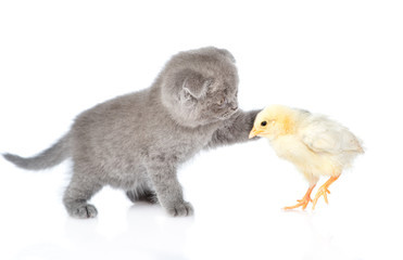 kitten touches chicken. isolated on white background.