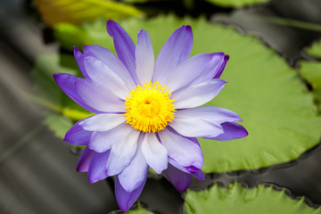 Nymphaea - beautiful water lily from Kew Gardens - Kew's stowaway blues. Beautiful details and colors