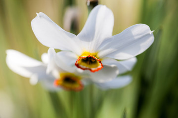 Beautiful daffodil with natural, green background