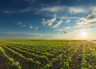 Young soybean crops at idyllic sunset Wall mural