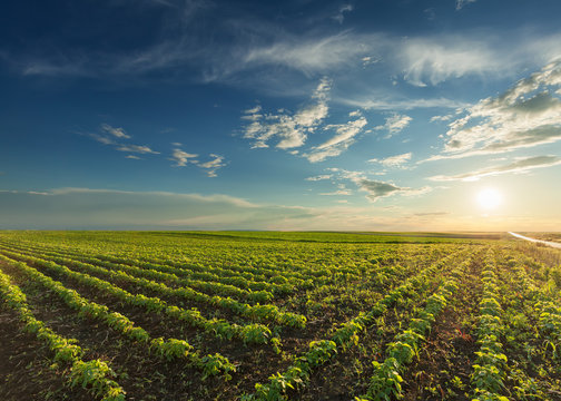 Young soybean crops at idyllic sunset
