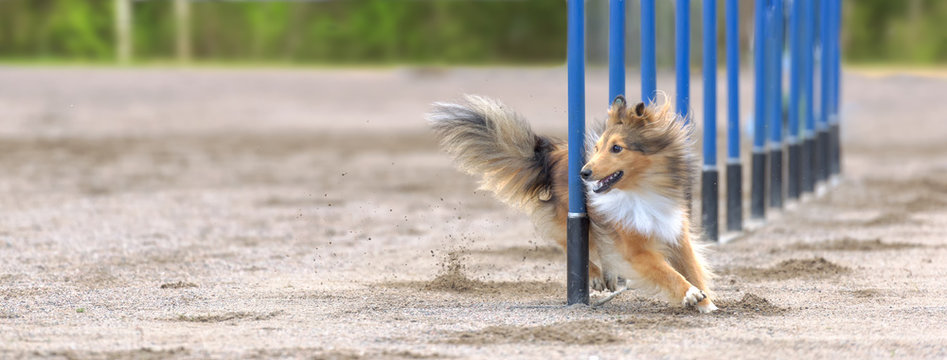 Shetland Sheepdog in agility slalom. Sized to fit for cover image on popular social media site.