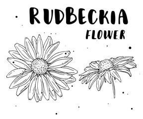 Rudbeckia flower. Botanical illustration. Vector. Hand drawn artistic flower isolated on white background