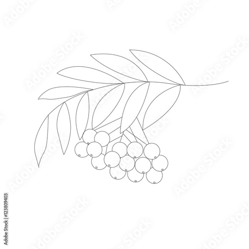 Detailed Drawing Of Rowan Or Rowanberry Berries And With Leaves Hand Drawn