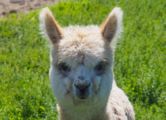 Baby alpaca or Vicugna pacos looking at camera