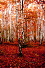 red autumn forest