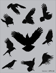 Collection of a black raven silhouettes in action. Vector illustration