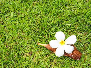 white Plumeria flower on the green grass.