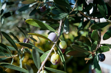 Olives in tree