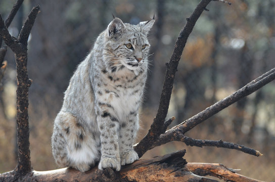 Posing and Poised Lynx