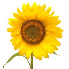 Flower of sunflower isolated on white background