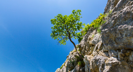 Lonely tree in spring, hanging from rocks in the mountains, isolated on clear background