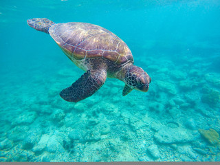 Snorkeling with green turtle in blue sea