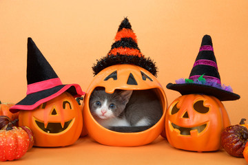 Small grey and white tabby kitten in the mouth of a pumpkin jar, peeking out curiously. Jack o lanterns with witch hats and small pumpkins on an orange background. Halloween theme