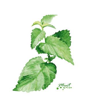 Watercolor mint branch