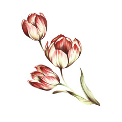 Bouquet of tulips. Hand draw watercolor illustration.